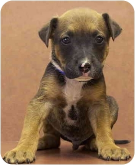Labrador Retriever/German Shepherd Dog Mix Puppy for adoption in Marina del Rey, California - Buster