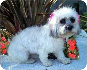 Lhasa Apso/Bichon Frise Mix Dog for adoption in Los Angeles, California - NOELLE
