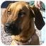 Photo 1 - Great Dane/Hound (Unknown Type) Mix Dog for adoption in Colorado Springs, Colorado - Dahlia