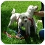 Photo 1 - Bichon Frise/Poodle (Toy or Tea Cup) Mix Dog for adoption in La Costa, California - Ricky and Lucy