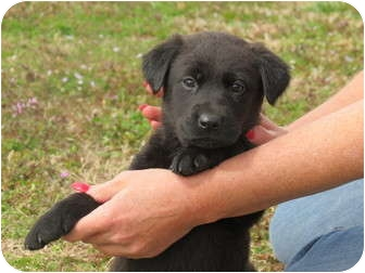Border Collie/Labradoodle Mix Puppy for adoption in Westbrook, Connecticut - Mikmak
