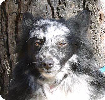 Australian Shepherd Dog for adoption in Minneapolis, Minnesota - Taz