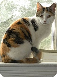 Domestic Mediumhair Cat for adoption in Rohrersville, Maryland - Miss Emmy