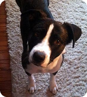 Border Collie/Terrier (Unknown Type, Medium) Mix Dog for adoption in Smithfield, North Carolina - Zoe