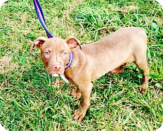 Pit Bull Terrier/American Staffordshire Terrier Mix Puppy for adoption in Staunton, Virginia - Thumper