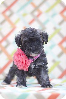 Schnauzer (Miniature)/Poodle (Miniature) Mix Puppy for adoption in Auburn, California - Paris