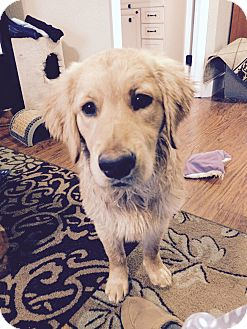Golden Retriever Mix Puppy for adoption in Knoxville, Tennessee - Maddox