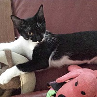 Domestic Shorthair Cat for adoption in Cerritos, California - Billie