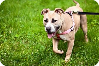 American Bulldog/Staffordshire Bull Terrier Mix Puppy for adoption in THREE RIVERS, Massachusetts - Fiona