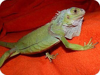 Iguana for adoption in Old Fort, North Carolina - Iguana