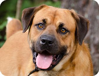 Rottweiler/Shepherd (Unknown Type) Mix Dog for adoption in Monroe, Georgia - Marley