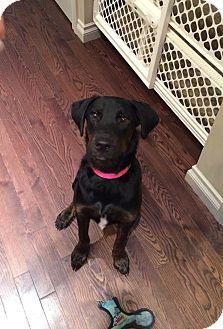 Labrador Retriever Mix Dog for adoption in Calgary, Alberta - EVA