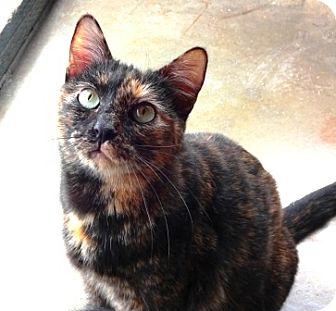 Domestic Shorthair Cat for adoption in Lathrop, California - Cora