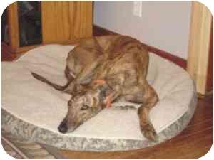 Greyhound Dog for adoption in Seminole, Oklahoma - Tracy