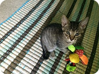 Domestic Shorthair Kitten for adoption in Stafford, Virginia - Mike