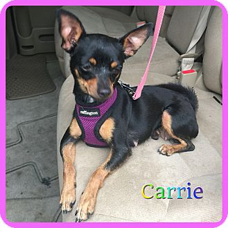 Chihuahua/Miniature Pinscher Mix Dog for adoption in Hollywood, Florida - Carrie