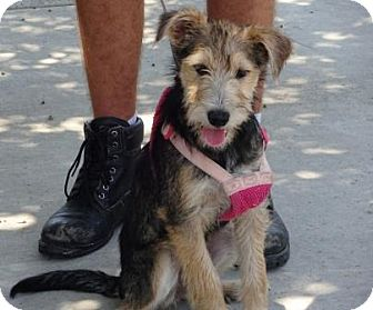 Airedale Terrier Mix Puppy for adoption in Lathrop, California - Simone