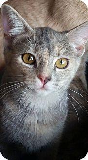 Domestic Shorthair Cat for adoption in Ocean Springs, Mississippi - Oppie