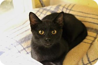 Domestic Shorthair Kitten for adoption in West Des Moines, Iowa - Lou