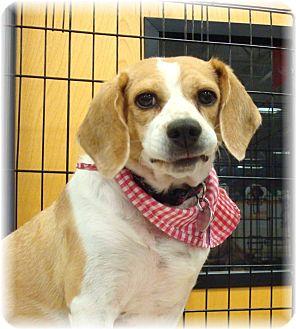 Beagle Mix Dog for adoption in Las Vegas, Nevada - Daisy