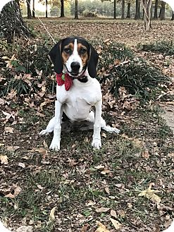 Bluetick Coonhound/Beagle Mix Dog for adoption in Starkville, Mississippi - Harlee