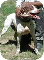 English Pointer Dog for adoption in Warren, New Jersey - Babe