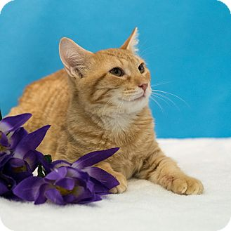 Domestic Shorthair Cat for adoption in Houston, Texas - Rizzo