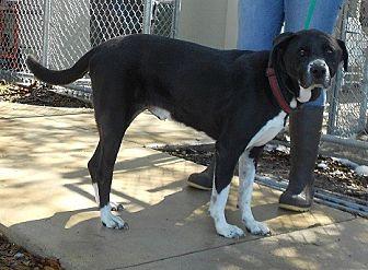 Labrador Retriever/Border Collie Mix Dog for adoption in Jacksonville, Florida - ZEUS