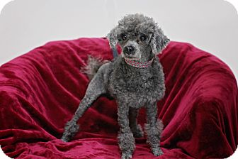 Poodle (Miniature) Mix Dog for adoption in Fort Atkinson, Wisconsin - Sem