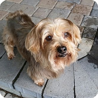 Yorkie, Yorkshire Terrier Dog for adoption in West Linn, Oregon - Schier
