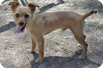 Terrier (Unknown Type, Small) Mix Dog for adoption in Murphysboro, Illinois - Rupert