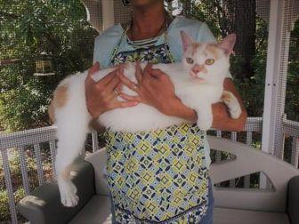 American Shorthair/Domestic Shorthair Mix Cat for adoption in Kinston, North Carolina - Lester