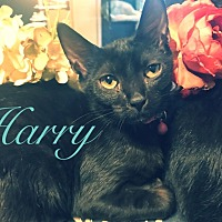 Adopt A Pet :: Harry - Knoxville, TN