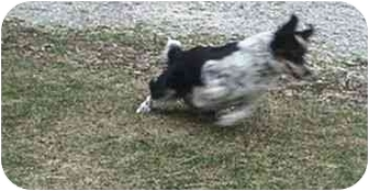 Border Collie/Australian Cattle Dog Mix Dog for adoption in Tiffin, Ohio - Molly-ADOPTED!!