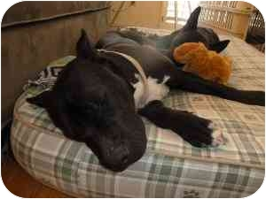 American Pit Bull Terrier/American Staffordshire Terrier Mix Dog for adoption in Burbank, California - LOLA (Great with Dogs)