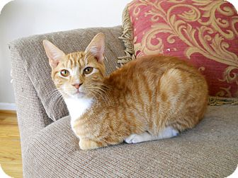 Domestic Shorthair Cat for adoption in Charlotte, North Carolina - Belton