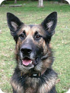 German Shepherd Dog Dog for adoption in Nashville, Tennessee - Bogey
