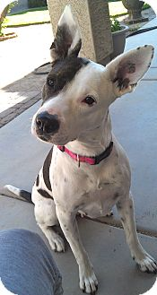 Catahoula Leopard Dog/Terrier (Unknown Type, Medium) Mix Dog for adoption in Phoenix, Arizona - Delilah