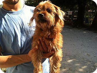Yorkie, Yorkshire Terrier Mix Dog for adoption in Bradenton, Florida - Bernie