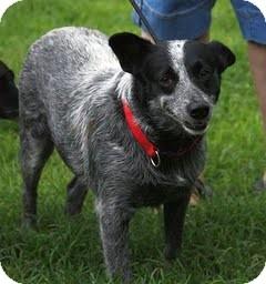 Australian Cattle Dog Mix Dog for adoption in Staunton, Virginia - Claire Belle
