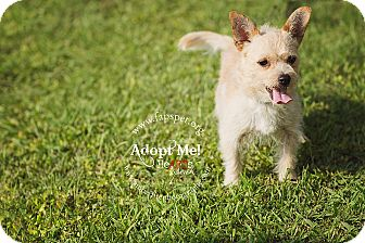 Glen of Imaal Terrier/Terrier (Unknown Type, Small) Mix Dog for adoption in Fayetteville, North Carolina - Finn