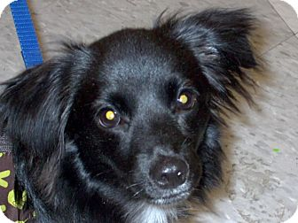 Papillon/Dachshund Mix Dog for adoption in Chesterfield, Michigan - Poppy 2013 (M)