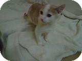 Domestic Shorthair Kitten for adoption in Morden, Manitoba - Ryder