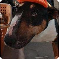 Adopt A Pet :: Sally - Arlington, TX