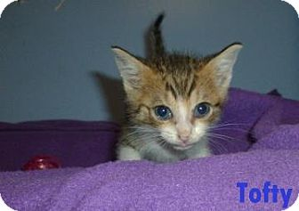 Domestic Shorthair Kitten for adoption in Georgetown, South Carolina - Tofty