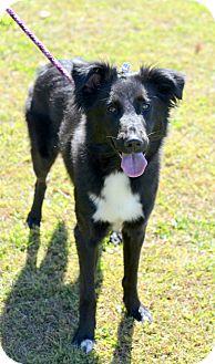 Border Collie/Australian Shepherd Mix Dog for adoption in Avon, Ohio - Myra