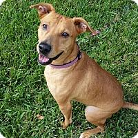 Adopt A Pet :: kara Beara - plano, TX