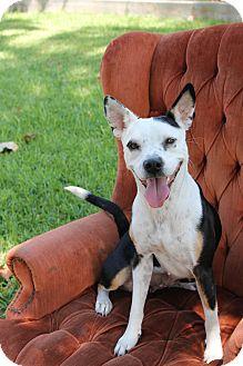Boston Terrier/Beagle Mix Dog for adoption in Houston, Texas - June Bug - Video!