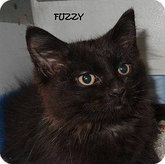Domestic Shorthair Kitten for adoption in Lapeer, Michigan - FUZZY--GOTTA SEE THIS BEAUTY!