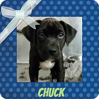 Labrador Retriever Mix Puppy for adoption in Louisburg, North Carolina - Chuck